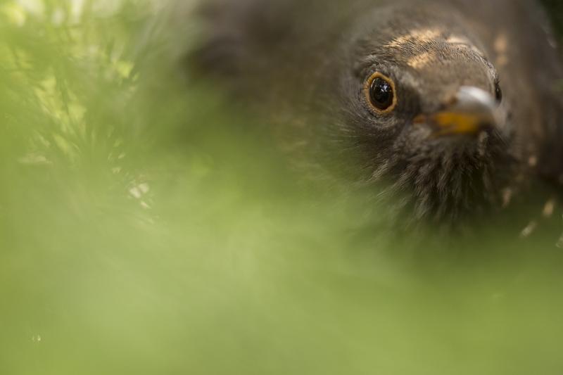 Moedermerel op nest