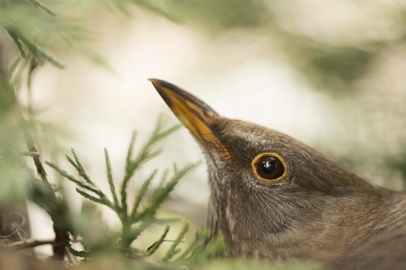 Moedermerel op nest2