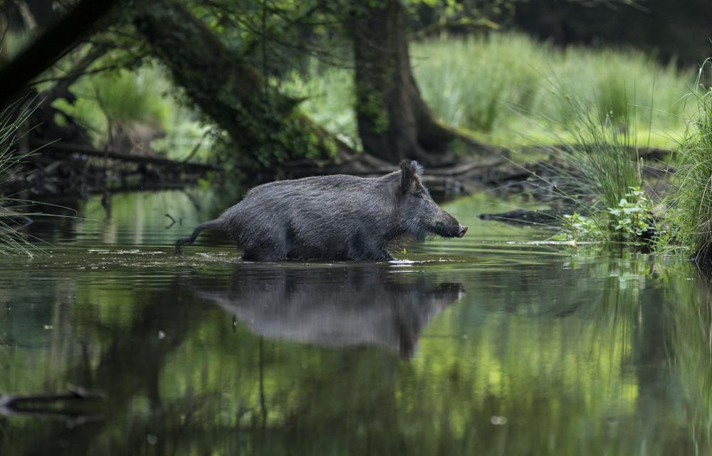 Wild zwijn in de Leuvenumse beek