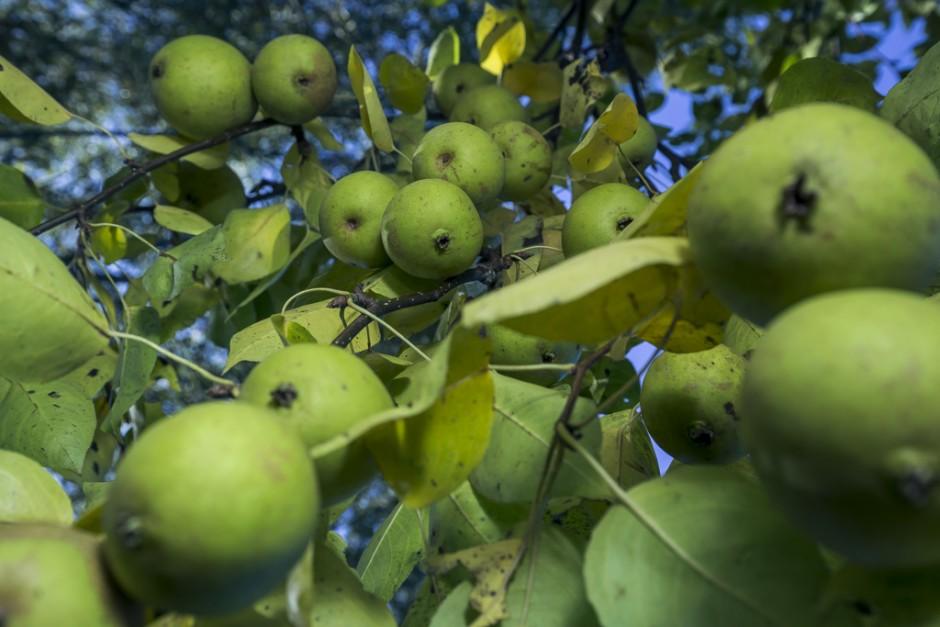 Peerkwee (Pyrocydonia danielii) is een entbastaard tussen een kwee en de peer Williams Christ, gevonden in Rennes rond 1900. De vruchten zijn goed te eten en doen qua smaak denken aan een harde nashiipeer.