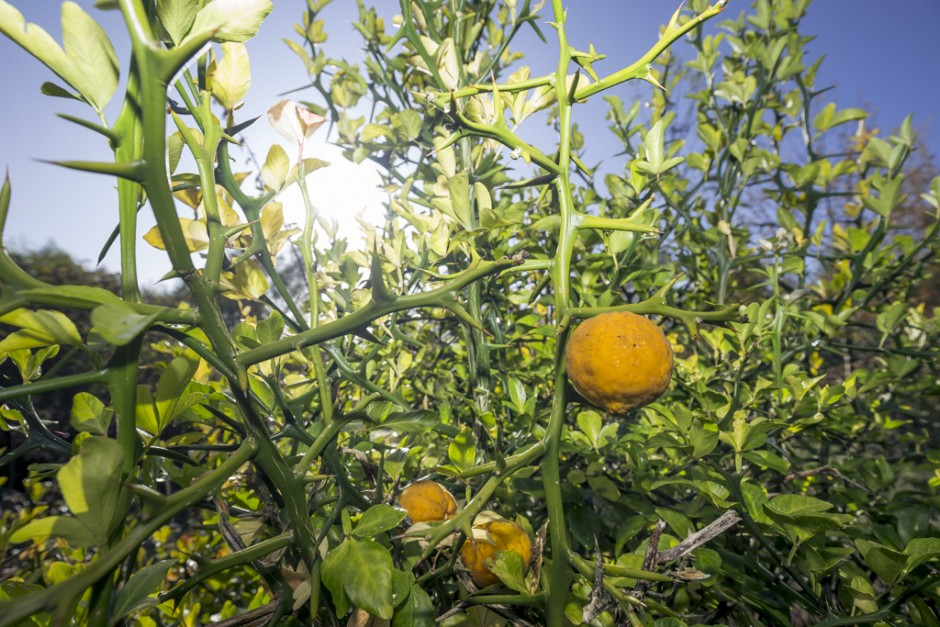 De wilde citroen (Poncirus trifoliata) is in tegenstelling tot zijn familieleden wel redelijk vorstbestendig. Oorsprong: Noord-China/Korea.