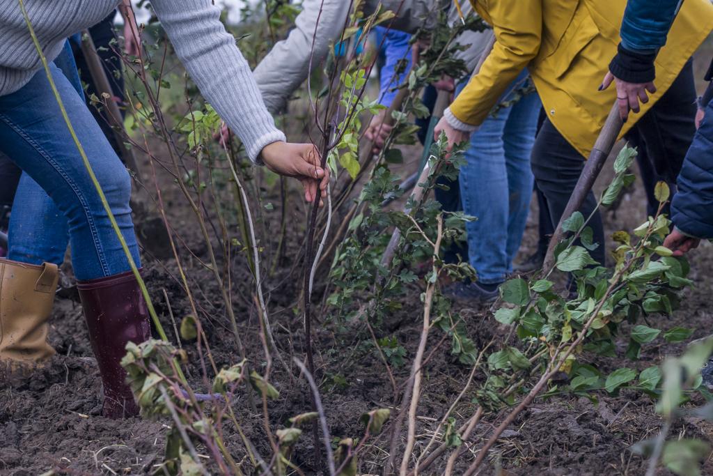 Op natuurgoed Ziedewij in Barendrecht werden door vrijwilligers op één dag 1500 bomen gepland.